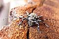Aegomorphus clavipes up2.jpg