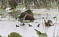Aenigmatolimnas marginalis, haan en kuikens, Kgomo-kgomo-vleiland, Birding Weto, a.jpg
