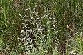 Aerva leucura-2137 - Flickr - Ragnhild & Neil Crawford.jpg