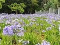 Agapanto Planta herbácea perene de rizomas subterrâneos, de altura até 1,0 metro, com o pendão floral. As folhas são laminares, longas e estreitas. As flores são pequenas, tubulares nas cores branca o - panoramio.jpg