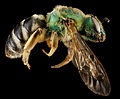 Agapostemon virescens (side) - USGS Bee Inventory and Monitoring Laboratory.jpg