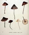 Agaricus rugosus — Flora Batava — Volume v20.jpg