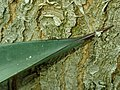 Agave aff. tequilana 2019-12-13 6472.jpg