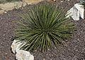Agave geminiflora - Twin-flowered agave 01-1.jpg