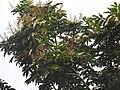 Aglaia spectabilis flowering2373.jpg