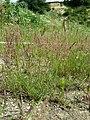 Agrostis stolonifera sl7.jpg