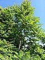 Ailanthus altissima tree (17506220920).jpg