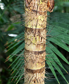 A short section of a narrow palm stem covered with long, dark spines. The stem section includes four scars left where petioles were once attached. Unlike the rest of the stem, these petiole scars lack spines.