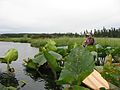 Alaska marsh kayaking 2010.jpg