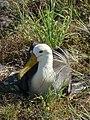 Albatross, nesting... (6063993335).jpg