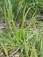Aletris spicata (leaf).jpg