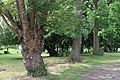 All Saints Church, Nazeing, Essex, England ~ line of trees churchyard at east.JPG