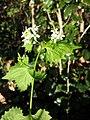 Alliaria petiolata sl6.jpg