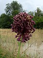 Allium atroviolaceum Y01.jpg