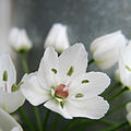 Allium white (6246912421).jpg