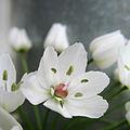 Allium white (6246912421).jpg