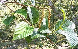 Alnus acuminata - Leaves and male inflorescences of Alnus acuminata