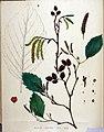Alnus incana — Flora Batava — Volume v19.jpg