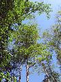 Alnus rhombifolia San Gabriel River.jpg
