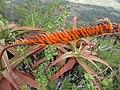 Aloe mawii - raceme (7708662046).jpg
