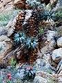 Aloe perfoliata (4).jpg