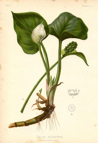 Thomas Meehan (botanist) - Calla palustrisby Alois Lunzer from The Native Flowers and Ferns of the United States