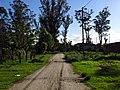 Altos eucaliptus en Las Dalias - panoramio.jpg