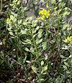 Alyssum montanum ENBLA04.jpg