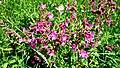Am Bilstein bei Breungeshain und Busenborn - Blumen.jpg