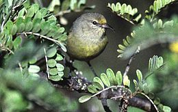 Amakihi common winter oahu hawaii monte-m-taylor.jpg