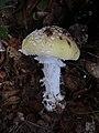 Amanita gemmata 12945645.jpg