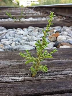Amaranthus albus sl14.jpg