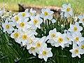 Amaryllidaceae Narcissus poeticus (Actaea) 1.jpg