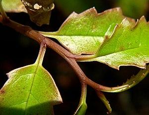 Basal angiosperms - Amborella