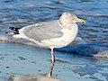 American Herring Gull - Larus smithsonianus, Delaware Seashore State Park, Indian River Inlet, Delaware (40045050182).jpg