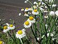 Ammobium alatum head4 NT - Flickr - Macleay Grass Man.jpg
