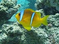 Amphiprion bicintus