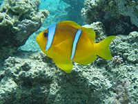 Amphiprion bicintus.jpg