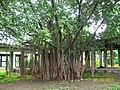 Ancient Banyan Tree Near the Law College in FC Compus - panoramio.jpg