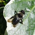 Andrena cineraria. Apidae. ( Female ) - Flickr - gailhampshire.jpg