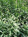Andrographis paniculata herb.JPG