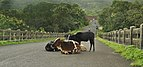 Anjarle Bridge and Cows-fix.jpg