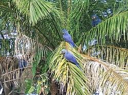 Un groupe d'aras hyacinthes sauvages, dans un palmier, dans le Pantanal, au Brésil