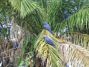 Hyacinth Macaws in their natural habitat, the ...