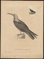 Anous senex - 1700-1880 - Print - Iconographia Zoologica - Special Collections University of Amsterdam - UBA01 IZ17900410.tif