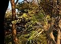 Ansellia africana00.jpg