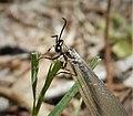 Ant Lion Myrmeleontidae (24610712568).jpg