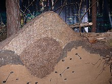 Ant hill poland.jpg