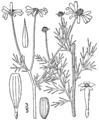 Anthemis cotula-linedrawing.png