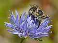 Anthophora bimaculata - Jasione montana - Tallinn.jpg